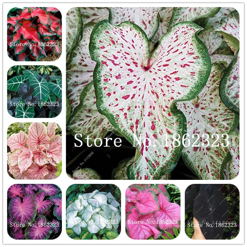 Bonsai 100 Pcs Caladium Indoor Plants Caladium Bicolor Flower Plant Bonsai Colocasia For Home Garden Plant Easy To Plant