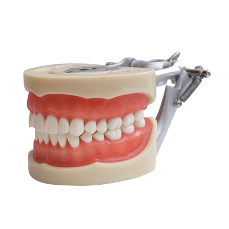Teaching Model Teeth Model for Dentist to Communicate with Patients Standard Teeth Models with 28 Teeth and Soft Gum
