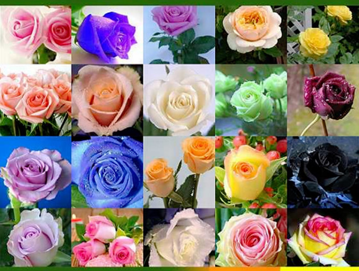 Rose Seed Seasons Easy To Plant Live Fresh Flower Seedlings Balcony Indoor Potted Flower Seeds Wholesale Red Rose Seeds
