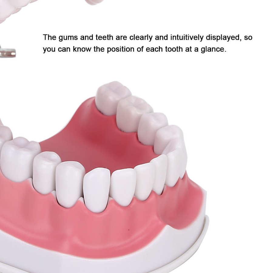 dental modelo mostrar-lhe a posição de cada