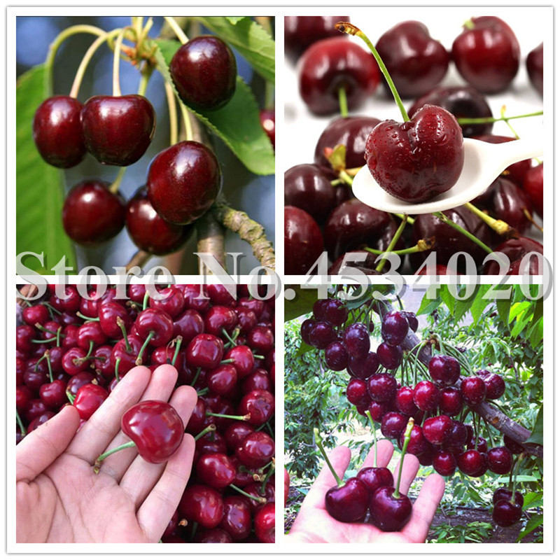 Hot Sale! 30 Red Cherry Bonsai, Australia Black Cherry Indoor Tree Plants Rare Sweet Fruit Tree Plantas For Home Garden Plant