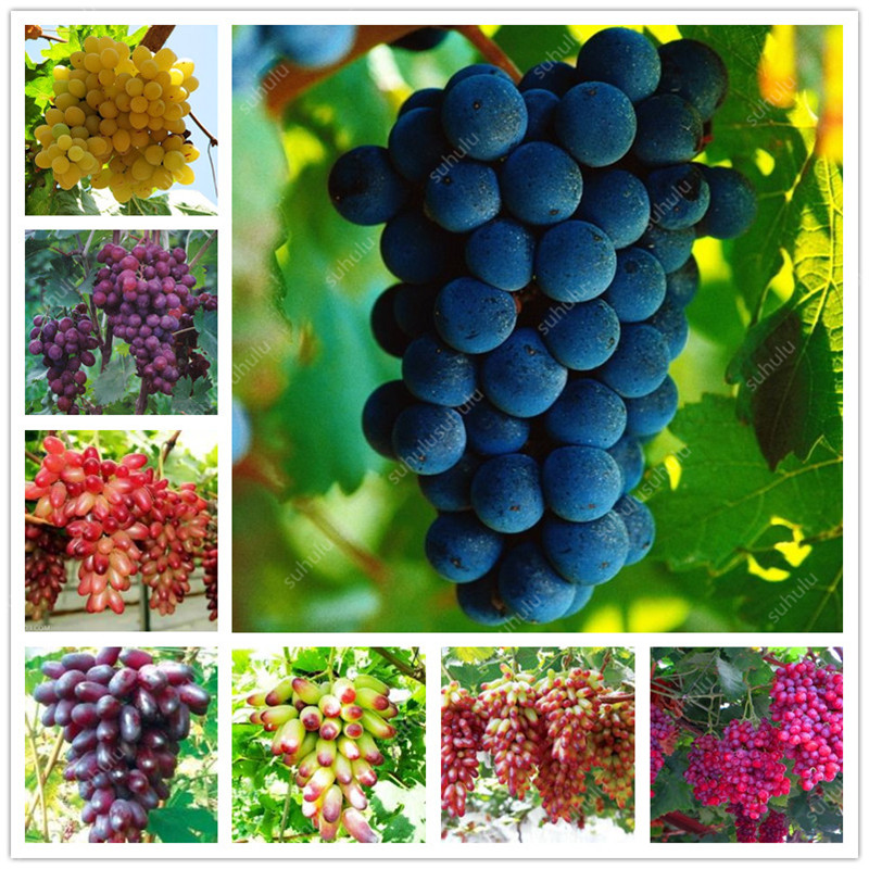 20 Pcs Grape Bonsai Mini Grape Tree Potted Plants Fruit Black Grape Organic Fruit Bonsai Tree Plant For Home Garden Easy To Grow