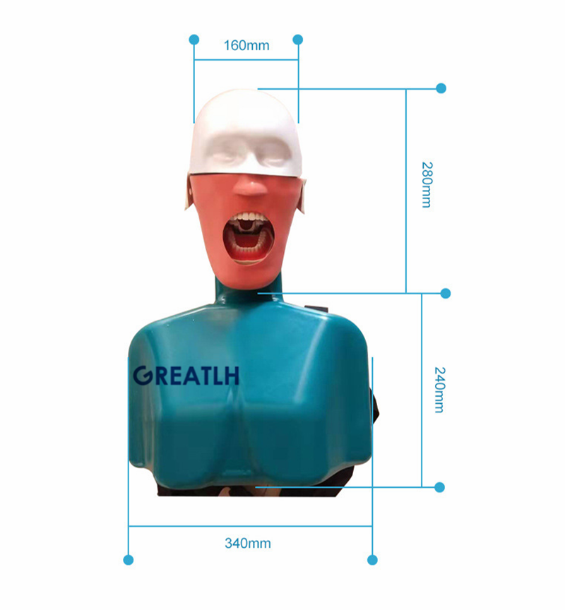 Dental Head model with shoulder Simulators Hygiene Manikin Teeth model Dental Training Manikin Phant