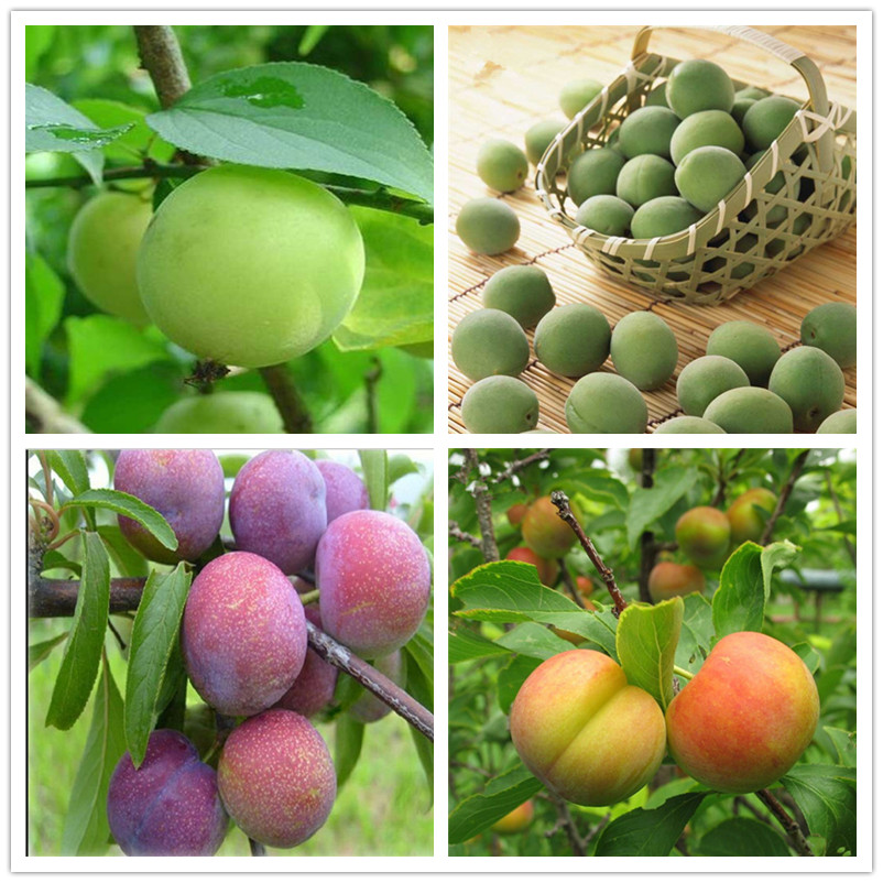 20 Pcs Pink Red Brin Plum Bonsai Organic Sweet Delicious Fruit Tree Vegetables & Fruits Pots Edible Fruit Succulent Planta