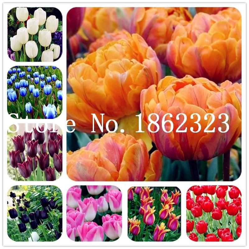 100 Buah Bunga Tulip, Tulip Agesneriana Aromatik Bunga Pot Tanaman Yang Paling Indah Colorful Tulip Tanaman Abadi Taman