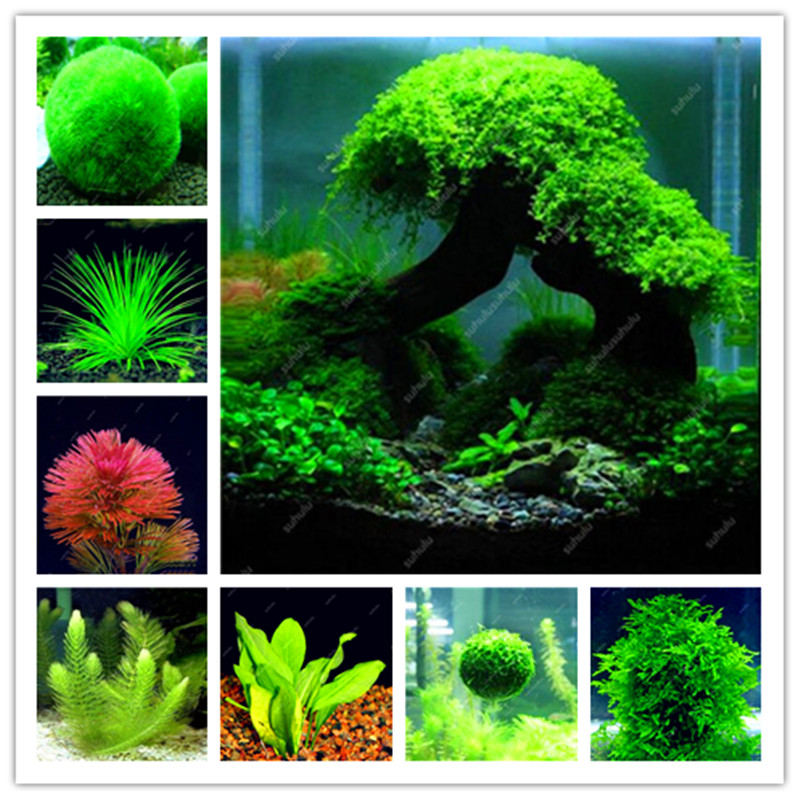 Hot Selling 500 Pcs New Water Aquarium Grass Bonsai Water Aquatic Plant Bonsai Family Easy Plant Bonsai For Decorate Aquatic