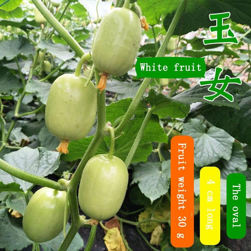 Фрукты огурец семя голландский огурец сухой сад балкон горшок овощ семя растение семя