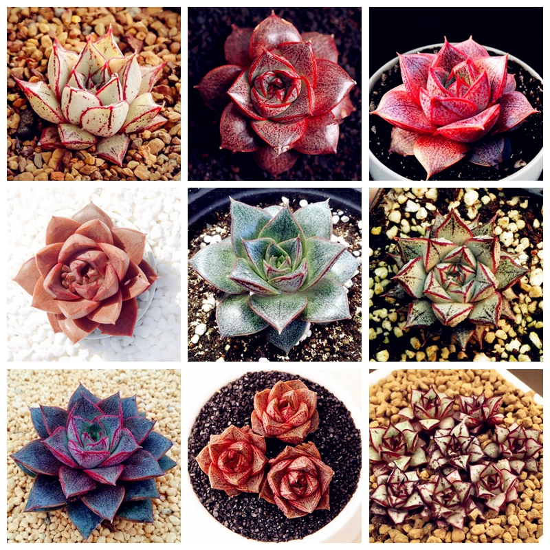 Hot Sale! 1000 Pcs Echeveria Purpusorum Bonsai Fresh Succulent Plant Home Rock Garden Gorgeous Round Leaf RARE Succulents Plant