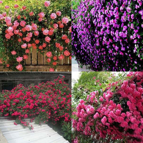 New Beautiful Romantic 6 Variety Color Climbing Rose bonsai Rosa Multiflora Perennial Home Garden Decor - 100 Pcs/bag