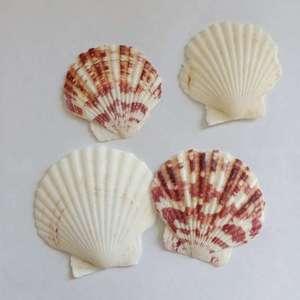 10PCS/lot Sea Shells Natural Scallop Seashell Beach Wedding Decorations Home Decor Ocean Ornaments DIY Shell for Jewelry Making