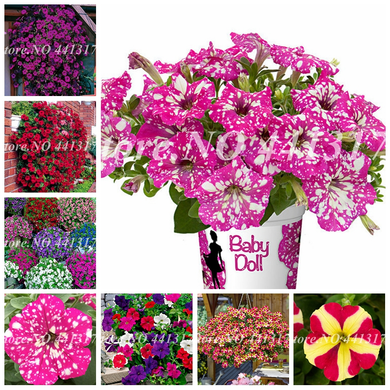 100 Pcs Great Mixed Bonsai Petunia Flower Plant Exotic Blooming Outdoor Morning Glory Flore Pot Plants For Home Garden Supply