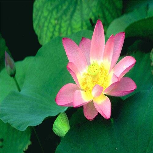 Hot-Sale-5-Pcs-Pack-Bowl-lotus-Bonsai-Hydroponic-Plants-Aquatic-Plants-FlowerPot-Lotus-Water-Lily.jpg_640x640 (2)