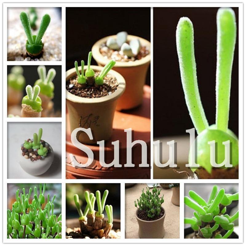 200pcs Rare Rabbit Succulents Bonsai Lithops Pseudotruncatella Office Desk Air Purification Bonsai Plants Bonsai For Home Garden