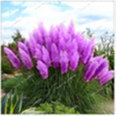 400 Pcs / Bag Imported Pampas Grass Outdoor Ornamental Plant Flowers Cortaderia Selloana Grass For Home Garden Easy To Grow