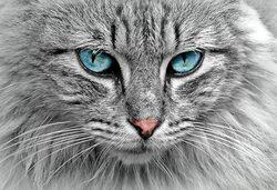 Longhair szary kotek z niebieskimi oczami znak/metalowy znak ścienny 12x16 cali