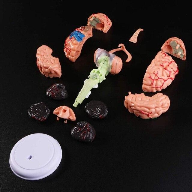 4D مفكك التشريح البشري مجسم لشكل مخ التشريح أداة التدريس الطبية التماثيل استخدام المدرسة الطبية