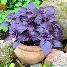 30 sztuk rzadko fioletowy kwiat bazylii darmowa wysyłka tanie tanio NONE