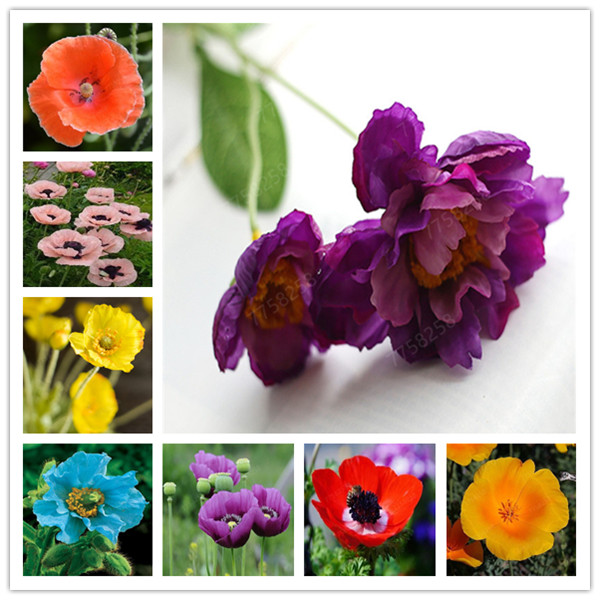 100 PCS Rare Mixed Himalayan Poppy Bonsai Beautiful Perennial Flower Plant New Style Attractive Butterfly For Home Garden