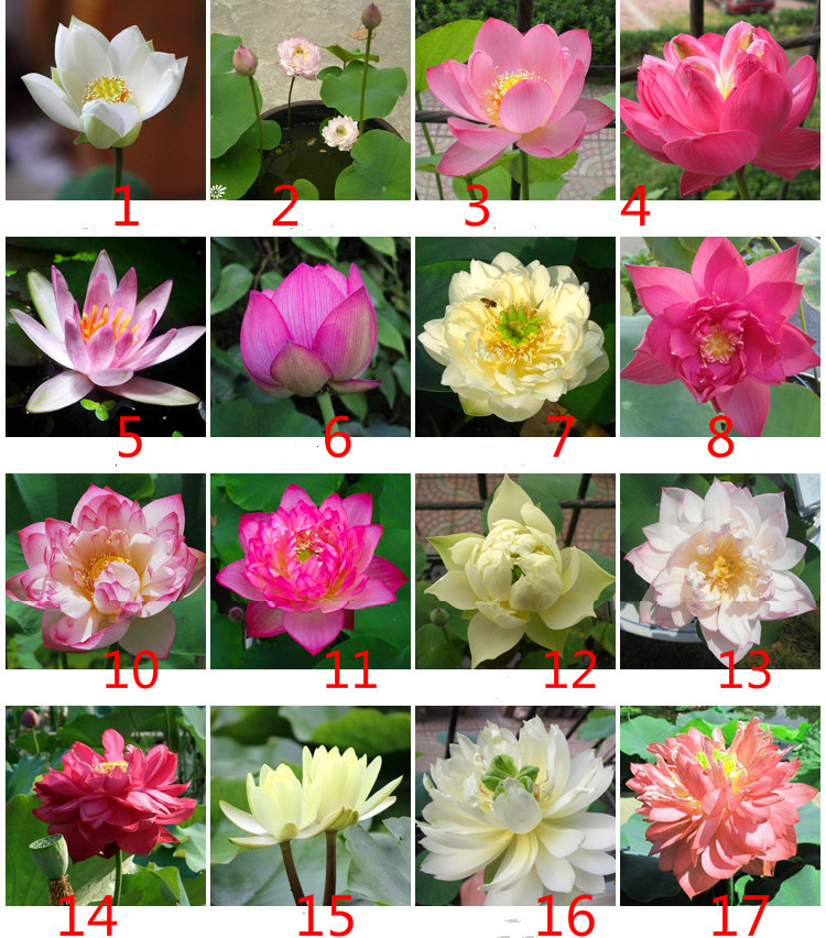 Bowl Lotus Hydroponic Plant Seeds Four Seasons Indoor Aquaculture Potted Flowers Water Lily Aquatic 20 Seeds