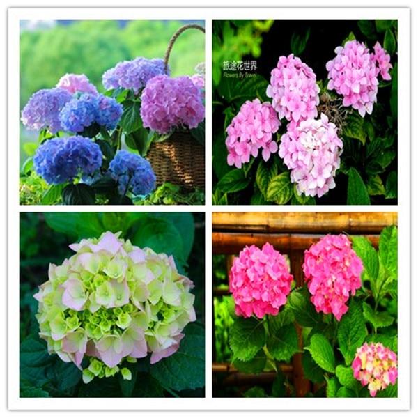 100 Pcs/Bag Bonsai Hydrangea Flower Mixed Hydrangea Flower Bonsai Indoor Bonsai Plant Flowers For Home Garden Planting