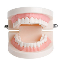 Dental Teeth Model Dentist student Model for Teaching Dentistry Material Dentist Tools Dental Lab Model