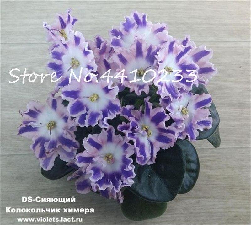 100-stks-Mini-Bonsai-Violet-Zeldzame-Afrikaanse-Bloem-Voor-Tuin-Voor-Bekijken-Avond-Geurende-Voorraad-Violet (4)