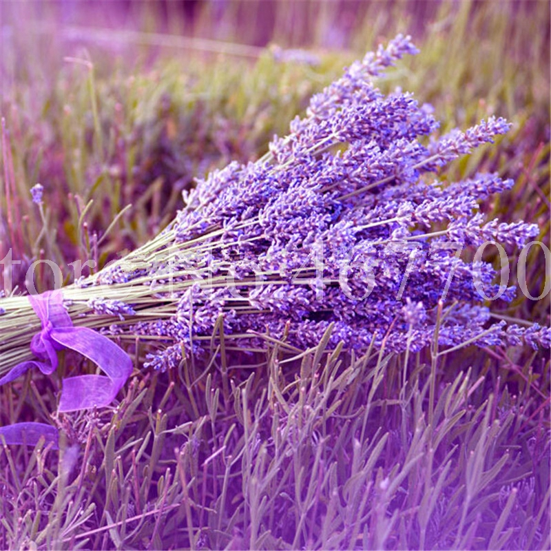 Plant Bath Salts 300Pcs Italian Lavender Flower Essence