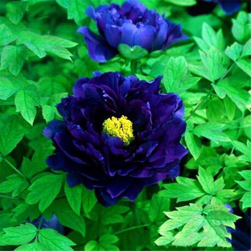 Plant Flower Bath Salts Blue Peony Essence 100Pcs XZZ-276