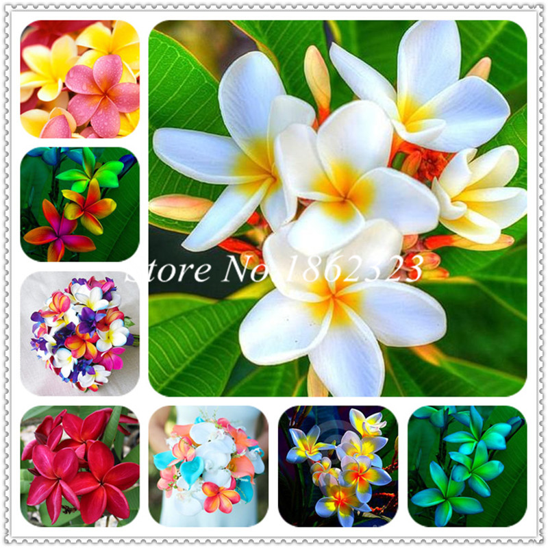 100 Pcs Mix Color Plumeria Bonsai Perennial Egg Flower Potted Plant,Faint Scent, Indoor / Outdoor Pot Plant Family Easy To Plant