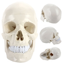 все цены на Skull Teaching Model PVC Human Anatomical Manual Skeleton Visual Anatomy Engraving Parietal Study Durable онлайн