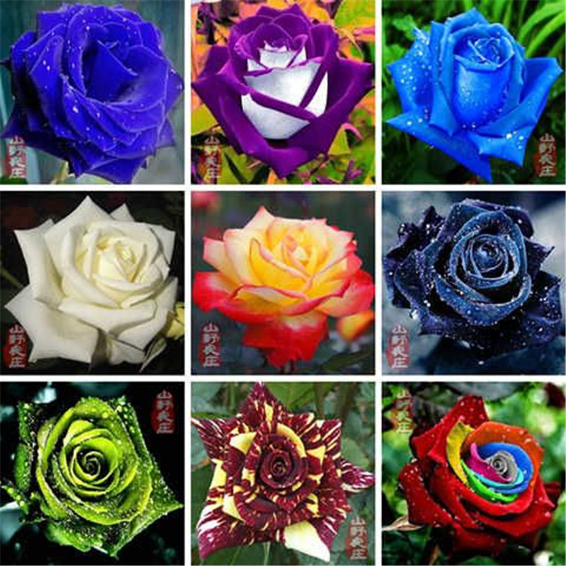 1000 Pcs//Lot Bonsai Rosas Rose So Charming Bonsai Flower Home Garden Plants Natural Growth The Best Gift For The Wife