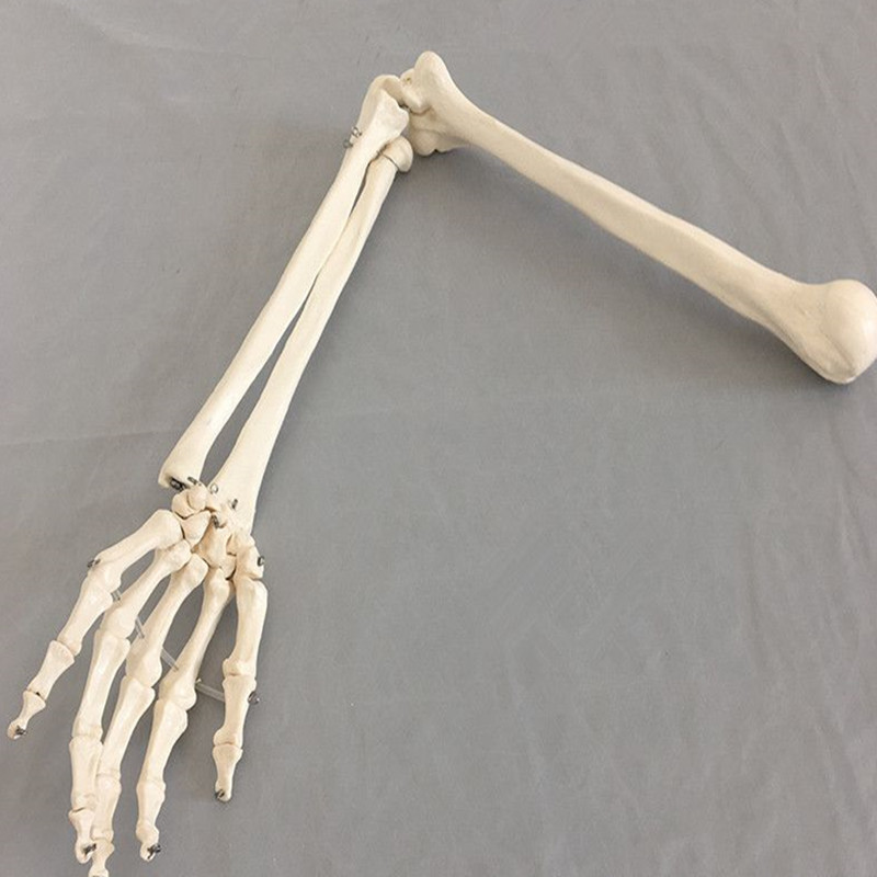 1:1 Human Bone Model Of Bone Adult Arm Of Upper Limb Bone Arm And Radius Hand Bone Medical Science School Teaching Supplies