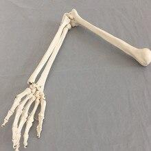 1:1 osso humano modelo de osso adulto braço do membro superior do osso braço e raio mão osso medicina ciência escola material de ensino
