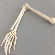 Modelo de hueso humano para la escuela, brazo adulto de hueso de la extremidad superior, brazo y radio de mano huesuda, material de enseñanza de ciencias médicas