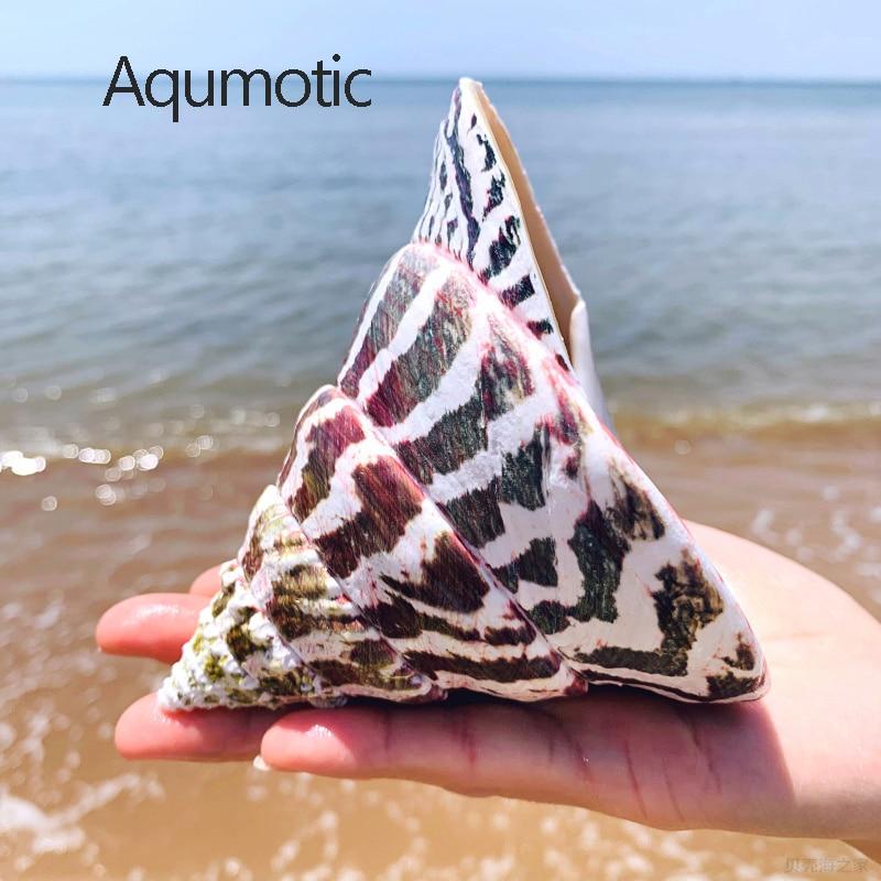 1pc sobre 12cm grande mar natural concha