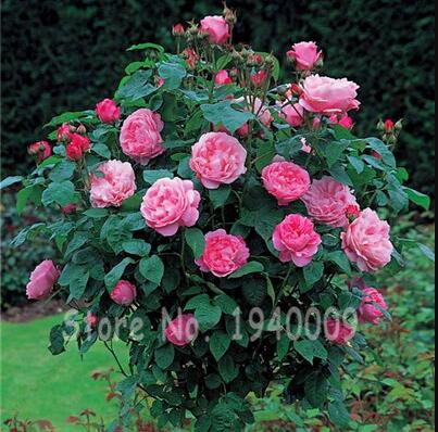 200 Pcs Bonsai Multi-Color Rose Tree Bonsai Blooming Outdoor Potted Plants Flore Vary Colors Selection Garden Climbing Plants