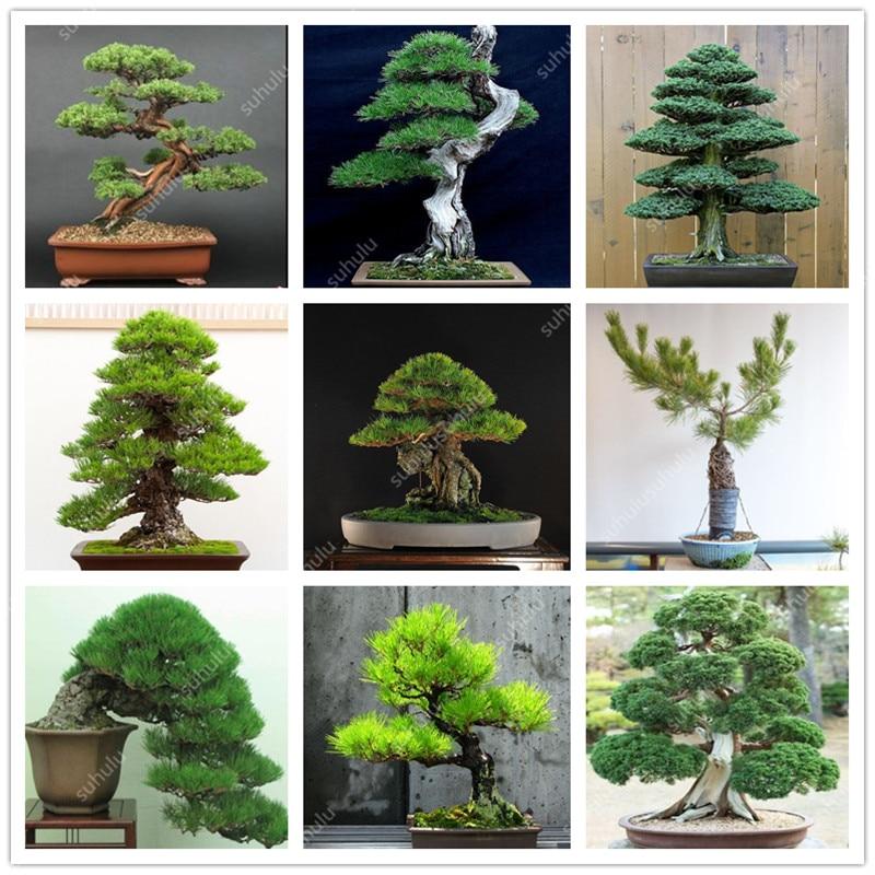 50 pcs Mini Black Pine bonsai, Indoor Plants Radiation Protection Bonsai, Japanese bonsai Pine Tree for home garden potted plant
