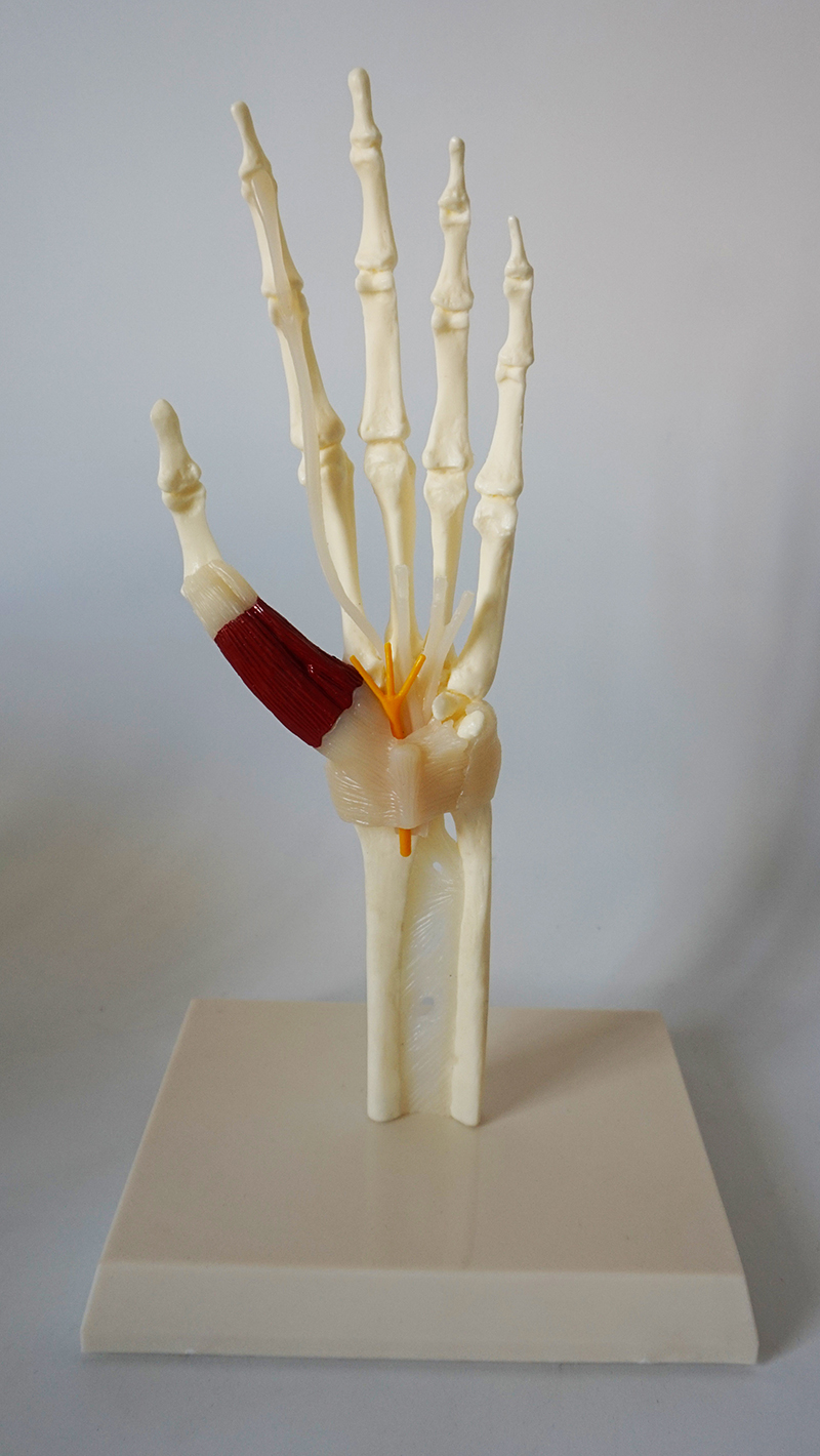 PVC 1:1 Life Size Hand Joint Model Human Hand Skeleton with Ligament Medical Teaching Models Human Hand Anatomy Anatomical Palm