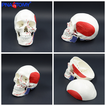 Life size skull model with muscles and numbers with manual human anatomical skull model dentist used studying tool medical gift life size transparent canine skull model dog skull and teeth anatomy animal anatomical tool