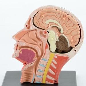 Image 4 - 치과 실험실 치과 의사 4D 인간의 머리 해부학 의료 두개골 모델 해골 이제까지 높은 인형 후