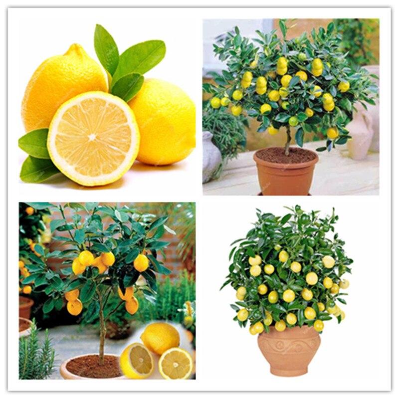 Big Sale! 30 Pcs Bonsai Lemon Potted Edible Tangerine Citrus Fruit Dwarf Lemon Tree Indoor Plant For Home Garden Plants