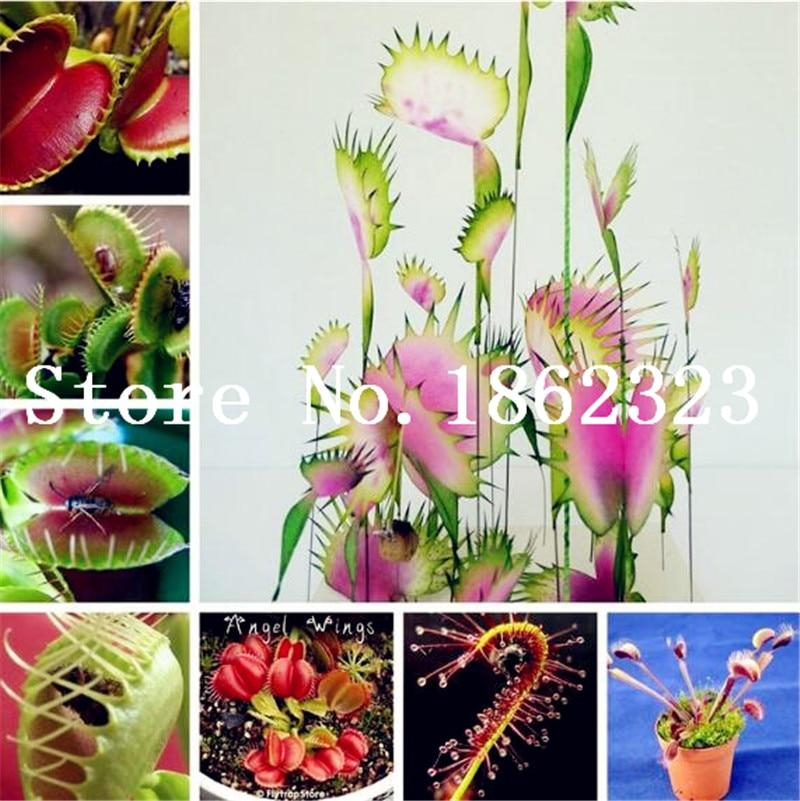 Big Promotion! 100Pcs Potted Insectivorous Bonsai Plant Blue Dionaea Muscipula Carnivorous Plants Giant Clip Venus Flytrap Plant