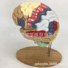 2 Keer Vergroting 4 Deel Human Brain Digitale Indicator Logo Hersenen Zenuw Anatomische Model Medische Benodigdheden