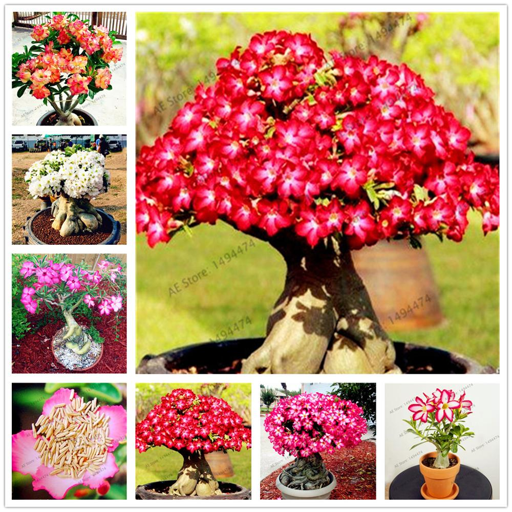 Plant Flower Bath Salts Adenium Obesum Grass Essence 100Pcs XZZ-268