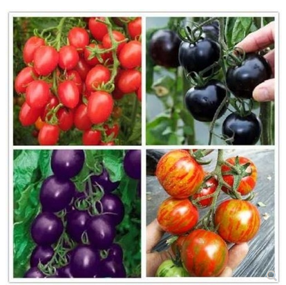 Tomato Seeds Four Seasons Sowing Fruit Seeds Balcony Potted Graines A Planter Home Sementes´ Plantas Frutiferas