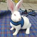 Поводок для кролика, маленький жилет для питомца, поводок, костюм для питомца, кошки, щенка, кошки, свинцовый жилет для бега, портативный, для ...