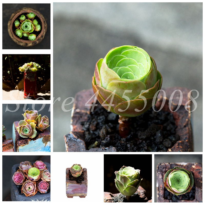 100 Pcs The Mountain Rose Red Rose Garden Greenovia Flower Indoor Succulent Plant Meaty Plant Flore Bonsai Potted Planting