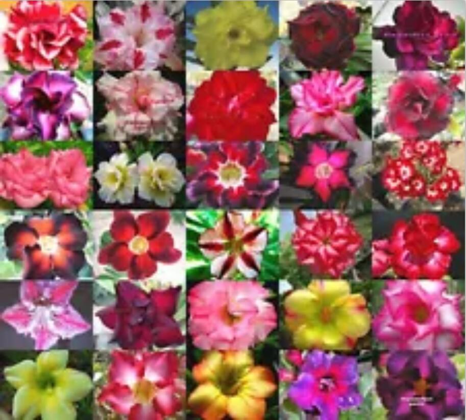 Mix 5pcs 100% Fresh Real Adenium Obesum Succulent Flower