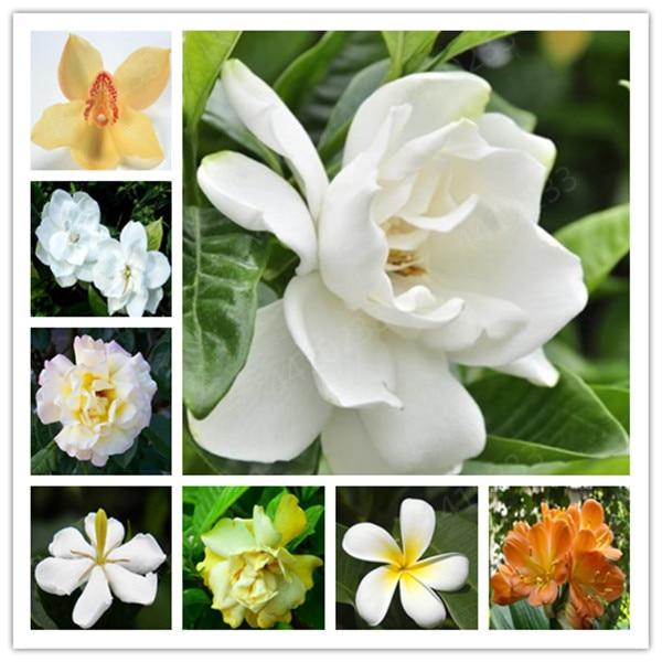 100 Pcs/ Bag Bonsai Gardenia Jasminoides Flower Outdoor Fragrant Flowers White Cape Jasmine Blooming Flore For Home Pot Planters
