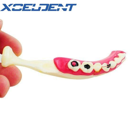 1pcs Dental Communication Model Mandibular Teeth Model For Teaching Training Model Dentistry Tools